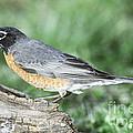 Robin Eating Mealworm by Millard H. Sharp