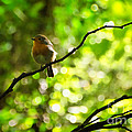 Robin In The Glade by Susie Peek