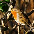 Robin In The Hedgerow by Susie Peek