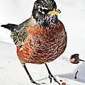 Robin In The Snow by Marcia Colelli
