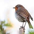 Robin On A Pole by Jeremy Hayden