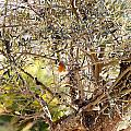 Robin Perched On Olive Tree by Goyo Ambrosio