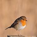 Robin by Jenny Potter