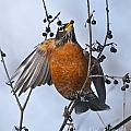 Robin Pictures 84 by World Wildlife Photography