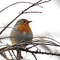 Robin Red Breast by Sarah Broadmeadow-Thomas