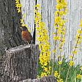 Robin Resting by Tina M Wenger