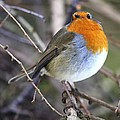 Robin by Science Photo Library