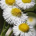 Robin's Plantain Wildflowers - Erigeron Pulchellus by Kathy Clark