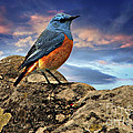 Rock Thrush by Daniela White