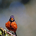 Rockin Robin by Skip Willits