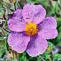 Rockrose Wild Flower by George Atsametakis