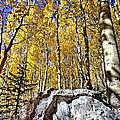 Rocky Aspen by David Kehrli