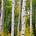 Rocky Mountain Aspen Forest by Panoramic Images