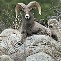 Rocky Mountain Big Horn by Gary Langley