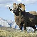 Rocky Mountain Big Horn Sheep by Bob Christopher