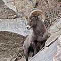 Rocky Mountain Big Horn Sheep Ram by Gary Langley