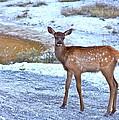 Rocky Mountain Elk Calf by Karon Melillo DeVega