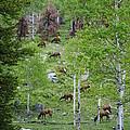 Rocky Mountain Elk Herd by Alan Hutchins