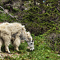 Rocky Mountain Goat by Kathleen Bishop