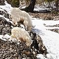 Rocky Mountain Goats - Mother And Baby by Image Takers Photography LLC - Carol Haddon