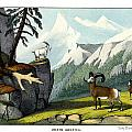 Rocky Mountain Sheep by Splendid Art Prints
