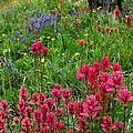 Rocky Mountain Wildflowers by Lynn Bauer