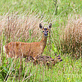 Roe Deer Capreolus Capreolus With Two Fawns by Liz Leyden