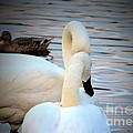Romance Of The White Swans by Maria Urso