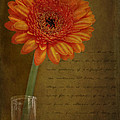 Romantic Gerbera by Eduardo Tavares