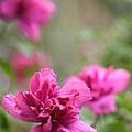 Romantically Pink by Jennifer E Doll