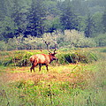 Roosevelt Bull Elk by Joyce Dickens