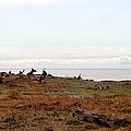 Roosevelt Elk And The Ocean by Michelle Calkins