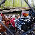 Rooster And Chickens by Jannis Werner