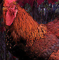 Rooster In October by Ian  MacDonald