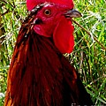 Rooster The Male Chicken by Gail Matthews