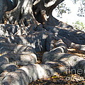 Roots Of Large Fig Tree by Denise Mazzocco