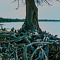 Roots On The Bay by Mechala Matthews
