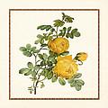 Rosa Sulfurea -yellow Rose  Square by Elaine Plesser