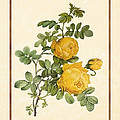 Rosa Sulfurea -yellow Rose  Vertical by Elaine Plesser