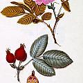Rosa Villosa by German School