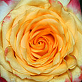 Rose 1 by Gerry Fortuna