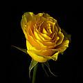 Rose 1 by Ingrid Smith-Johnsen