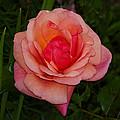 Rose 13 by Ingrid Smith-Johnsen