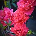 Rose 138 by Pamela Cooper