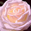 Rose 169 by Pamela Cooper