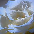 Rose 186 by Pamela Cooper