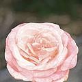 Rose 195 by Pamela Cooper
