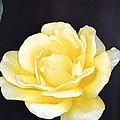 Rose 196 by Pamela Cooper