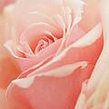 Rose 2 by Ingrid Smith-Johnsen