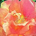 Rose 2 by Pamela Cooper